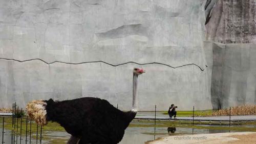 L'autruche-et-le-photographe